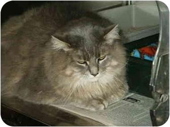 Domestic Longhair Cat for adoption in Mason City, Iowa - Calico