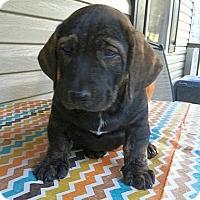 Adopt A Pet :: Klondike - Staunton, VA