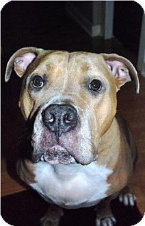Pit Bull Terrier/Mastiff Mix Dog for adoption in Seahurst, Washington - Rocco