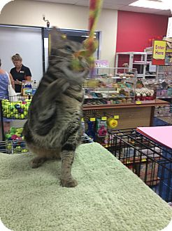 Domestic Shorthair Cat for adoption in Madison, Wisconsin - Tinkerbell