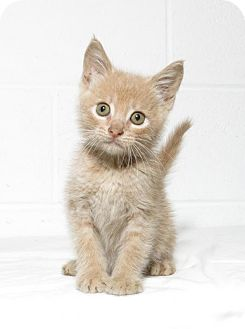 Domestic Shorthair Kitten for adoption in Lufkin, Texas - Dan