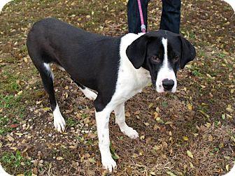 Great Dane/Border Collie Mix Puppy for adoption in Farmington, Michigan - Romeo
