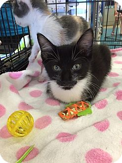 Domestic Mediumhair Kitten for adoption in Mansfield, Texas - Berlioz
