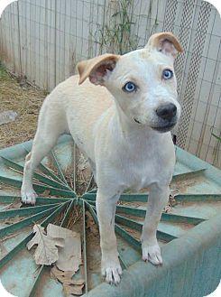 Labrador Retriever Mix Puppy for adoption in Olympia, Washington - Blueberry