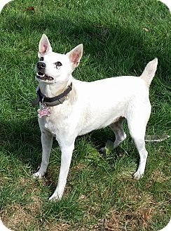 Jack Russell Terrier Mix Dog for adoption in Blue Bell, Pennsylvania - Izzy