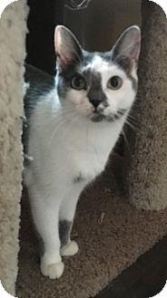 Domestic Shorthair Cat for adoption in Visalia, California - Delilah