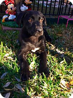 Labrador Retriever Mix Dog for adoption in Von Ormy, Texas - Lizzie
