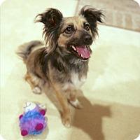 Adopt A Pet :: Cookie - La Habra Heights, CA