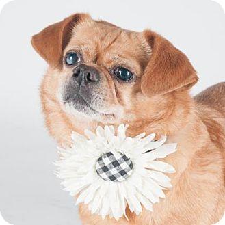 Pekingese Mix Dog for adoption in San Francisco, California - Bella