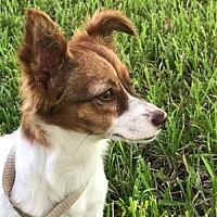 Adopt A Pet :: CINDY-LOU-WHO - Katy, TX