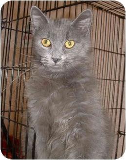 Domestic Mediumhair Cat for adoption in Honesdale, Pennsylvania - CJ