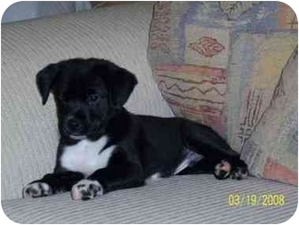 Pug/Spaniel (Unknown Type) Mix Puppy for adoption in Coal City, West Virginia - Freckles