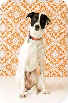 Pointer/Greyhound Mix Dog for adoption in Portland, Oregon - Max