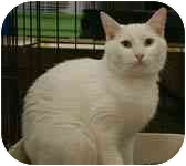 Domestic Shorthair Cat for adoption in Englewood, Florida - Pearl