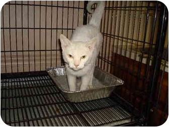 Domestic Shorthair Cat for adoption in Baton Rouge, Louisiana - Madame Bijou