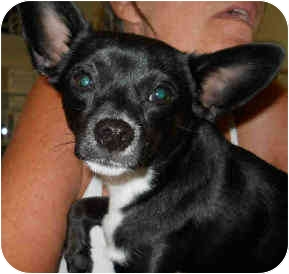 Chihuahua Mix Dog for adoption in San Clemente, California - BAXTER