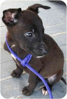 Labrador Retriever/Terrier (Unknown Type, Small) Mix Puppy for adoption in Struthers, Ohio - Imp