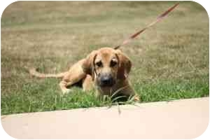 Bloodhound/Black Mouth Cur Mix Puppy for adoption in Carrollton, Georgia - Butch