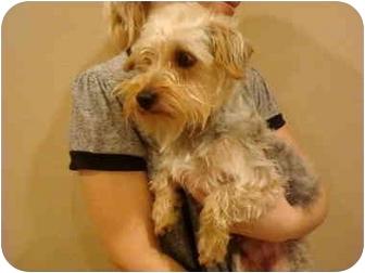 Yorkie, Yorkshire Terrier Dog for adoption in ......................., California - Bentley