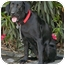 Photo 3 - Labrador Retriever Dog for adoption in Los Angeles, California - Venus von Labstein