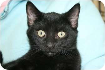 Domestic Shorthair Kitten for adoption in Frederick, Maryland - Peanut