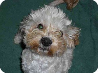 Maltese Mix Dog for adoption in Los Angeles, California - Trooper