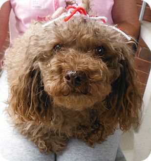 Poodle (Miniature) Mix Dog for adoption in Adamsville, Tennessee - Stormy