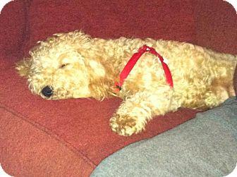 Bichon Frise/Poodle (Miniature) Mix Puppy for adoption in Shirley, New York - Sasha