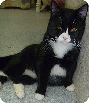 Domestic Shorthair Cat for adoption in Hamburg, New York - Rosie