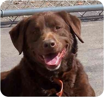 Labrador Retriever Mix Dog for adoption in Columbus, Indiana - Bear