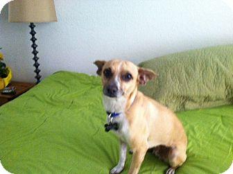 Chihuahua Mix Dog for adoption in Sedona, Arizona - Cabo
