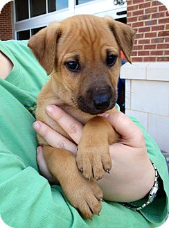 Shepherd (Unknown Type)/Golden Retriever Mix Puppy for adoption in Olive Branch, Mississippi - Rascal-Walnut, MS Pup
