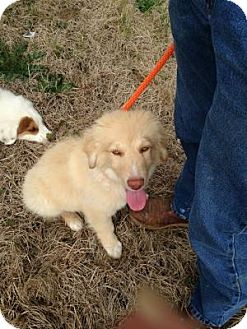 Border Collie/Golden Retriever Mix Puppy for adoption in Stafford Springs, Connecticut - Dusty