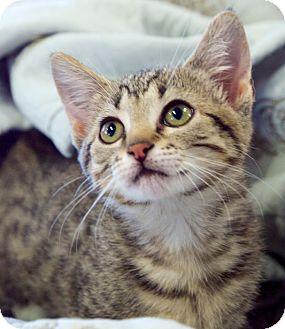 Domestic Shorthair Kitten for adoption in Huntsville, Alabama - Alexandria