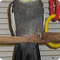 Adopt A Pet :: Tricksie - Lenexa, KS