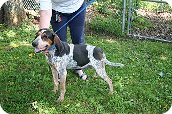 Bluetick Coonhound Mix Dog for adoption in Sylva, North Carolina - Buddy