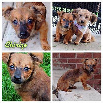 Dachshund/Pomeranian Mix Dog for adoption in Garden City, Michigan - Chirizo