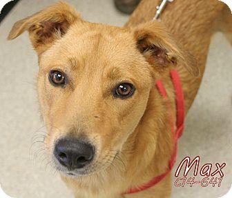 Labrador Retriever/Shepherd (Unknown Type) Mix Dog for adoption in Tiffin, Ohio - Max