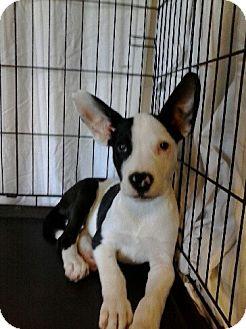 Shepherd (Unknown Type) Mix Puppy for adoption in Las Vegas, Nevada - Abilene's Arlow