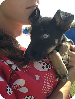 Feist Mix Puppy for adoption in Shelter Island, New York - Sugar
