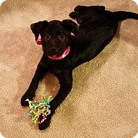 Adopt A Pet :: LULU Belle - plano, TX
