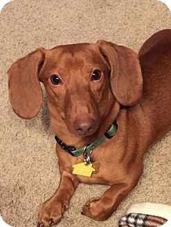 Dachshund Dog for adoption in Grand Rapids, Michigan - Buddy