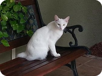 Domestic Mediumhair Cat for adoption in Tampa, Florida - COMET (DG)