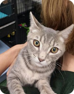 Domestic Shorthair Cat for adoption in Cherry Hill, New Jersey - Sweetie