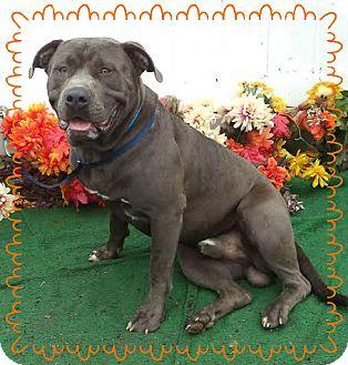 Pit Bull Terrier Mix Dog for adoption in Marietta, Georgia - BIG MO