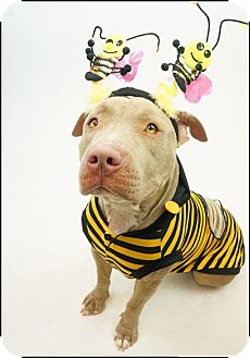 Pit Bull Terrier/American Pit Bull Terrier Mix Dog for adoption in Phoenix, Arizona - Akeela