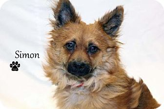 Pomeranian Mix Dog for adoption in Kalamazoo, Michigan - Simon