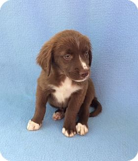 Labrador Retriever/Spaniel (Unknown Type) Mix Puppy for adoption in East Sparta, Ohio - Meghan