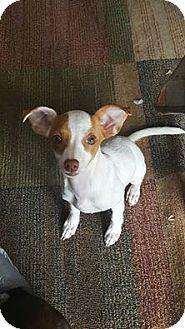 Chihuahua/Miniature Pinscher Mix Puppy for adoption in Oviedo, Florida - Pria