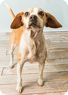 Beagle Mix Dog for adoption in Hendersonville, North Carolina - Molly